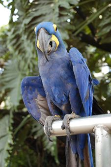 Free Blue Parrot Stock Photography - 528982