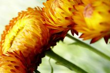 Angled Floral Strawflowers Stock Photography