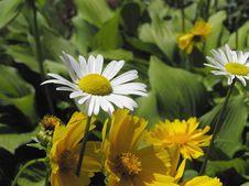 Free Daisy Stock Image - 529351