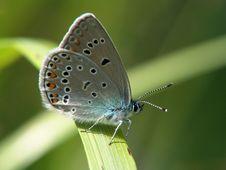 Free Polyommatus Icarus. Royalty Free Stock Photography - 529427