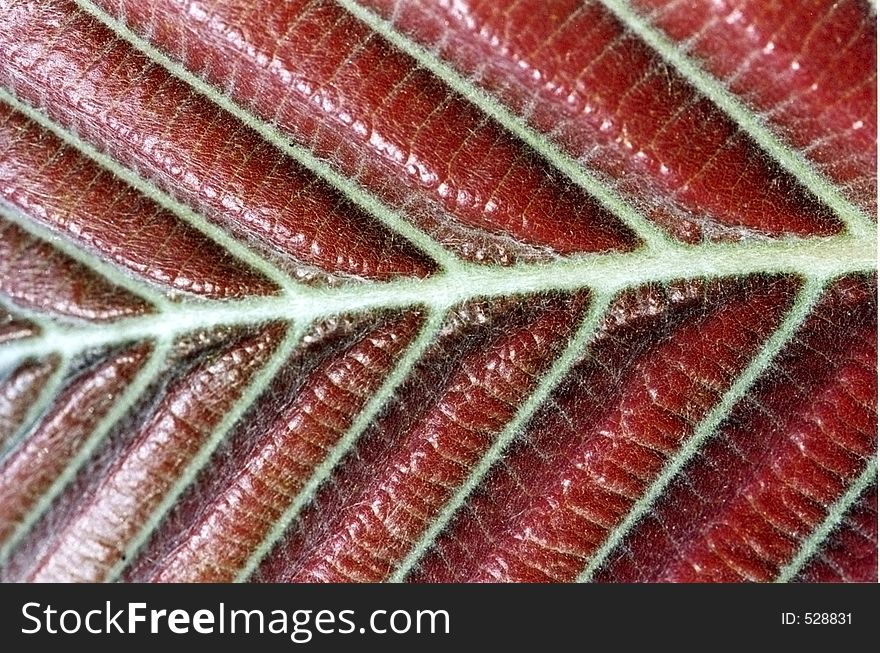 Structure of red leaf
