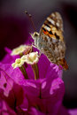 Free Tortoise Shell Butterfly Royalty Free Stock Photo - 5204975