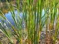 Free Swamp Stems Stock Images - 5207464