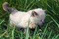 Free Siamese Kitten In Grass Royalty Free Stock Photo - 5208425