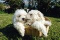 Free Bichon Frise Royalty Free Stock Photo - 5208845