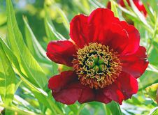 Free Big Red Flower Royalty Free Stock Image - 5200076