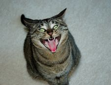 Free Yawning Cat Royalty Free Stock Image - 5201286