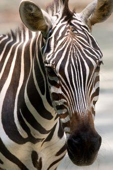 Free Black And White Zebra Stock Images - 5201594