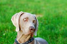 Free Weimaraner Royalty Free Stock Photography - 5201737