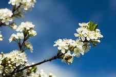 Free Blossoming Cherry Branch Stock Images - 5201794