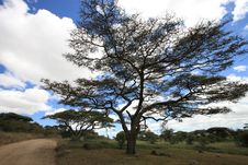 African Landscape With Acacia Royalty Free Stock Image