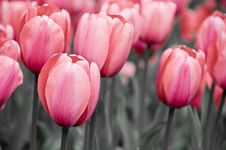 Free Vivid Stylized Tulips Stock Photography - 5202512