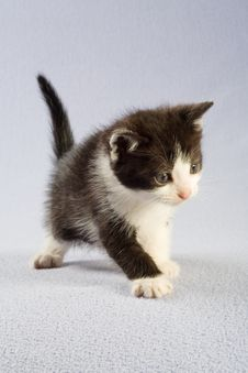 Free Standing Black And White Kitten, Isolated Stock Images - 5202524