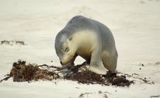 Free Sea Lion Despair Stock Images - 5202544