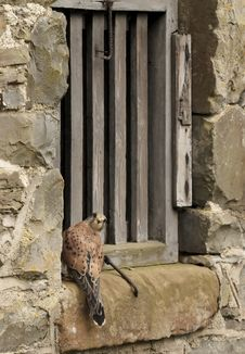 Free Kestrel And Stone Stock Photo - 5203440
