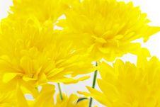 Free Yellow Chrysanthemum On White Royalty Free Stock Photo - 5203775
