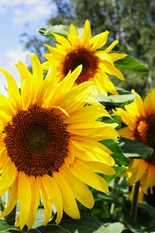 Free Sunflowers Royalty Free Stock Photo - 5204565