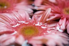 Daisy With Water Royalty Free Stock Photos
