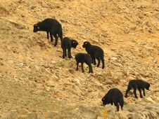 Free Six BLack Lambs Royalty Free Stock Photography - 5205927