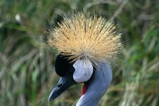 Crowned Crane, Close-up Of Crown Stock Photography