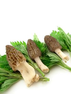 Free Morels Isolated Royalty Free Stock Image - 5206636