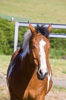 Free Chestnut Horse Royalty Free Stock Image - 5208166