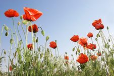 Free Red Poppies Stock Image - 5208311