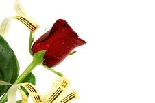 Free Isolated Nice Red Rose With Droplets, Ribbon Stock Photos - 5208393