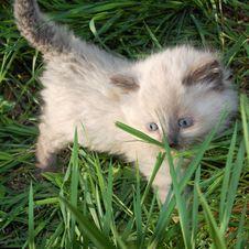 Siamese Kitten In Grass Royalty Free Stock Photo