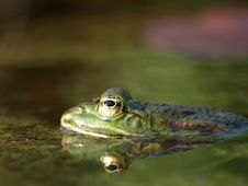 Free Frog In A Pond Royalty Free Stock Photos - 5208838