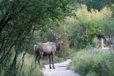 Free Rocky Mountian National Park Elk Stock Photo - 5208920