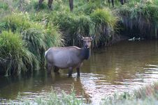 Rocky Mountain National Park Elk Royalty Free Stock Images