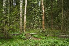 Free Russian Woods Stock Photography - 5209282