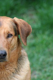 Free Half Face Dog Royalty Free Stock Photography - 5209737