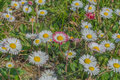 Free Daisies Stock Image - 52001671