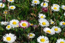 Free Daisies Royalty Free Stock Photo - 52001645