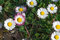 Free Daisies Royalty Free Stock Photography - 52001517