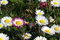 Free Daisies Royalty Free Stock Photos - 52001628