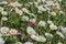 Free Daisies Royalty Free Stock Photos - 52001668