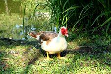 Free Muscovy Duck. Lake Marvellous, Lazarevskoye, Russia. Royalty Free Stock Photo - 52084185