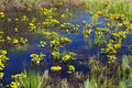 Free Spring Yellow Flowers On Bog Royalty Free Stock Photography - 5213817