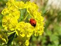 Free Crawling Ladybird Royalty Free Stock Image - 5214736