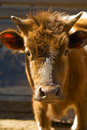 Free Small Redhead Calf Stock Images - 5215604