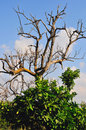 Free Dry Up Tree Royalty Free Stock Photography - 5216717