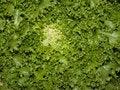 Free Lettuce Closeup Royalty Free Stock Image - 5216996