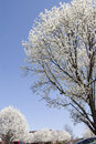 Free Bradford Pear Trees In Spring Stock Images - 5218464