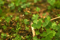 Free 4 Leaf-Clover Forest Royalty Free Stock Photos - 5219378