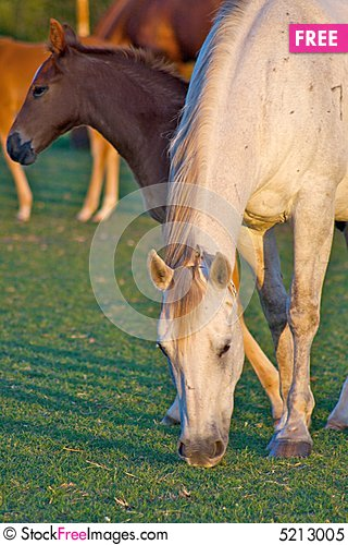 Free Grazing Mother Horse With Colt Royalty Free Stock Photo - 5213005