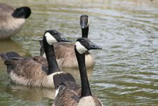 Free Canadian Geese Stock Photo - 5210480