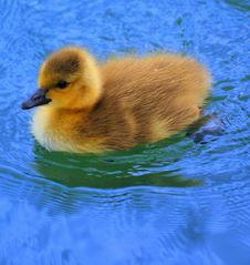 Free Loonie Baby On Lake Stock Photo - 5210880